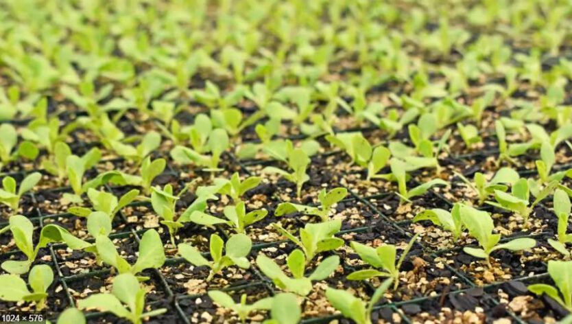 Vegetable and herb seedlings